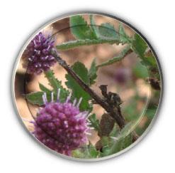 sphaeranthus indicus image